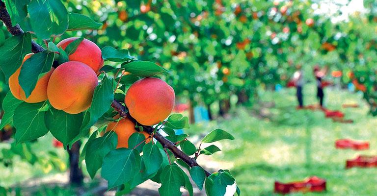 L abricot le fruit roi de l t - Taille de l abricotier en video ...