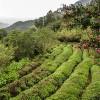 photo Découverte du thé vert coréen