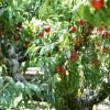 photo Savoir choisir et conserver les pêches et nectarines