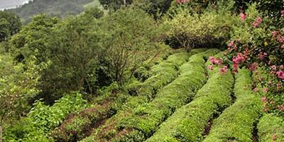 Découverte du thé vert coréen