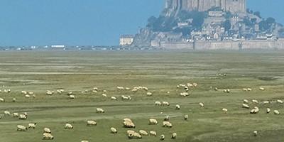photo L'agneau des Prés-salés du Mont-Saint-Michel obtient l'AOP