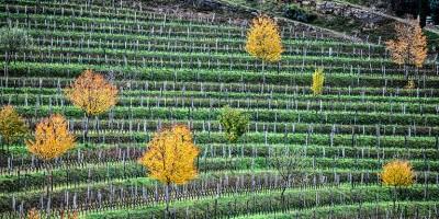 photo Vins italiens de l'Azienda agricola Francesco Joško Gravner