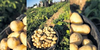 photo La Pomme de terre de l'ile de Ré fête les 20 ans de son AOP